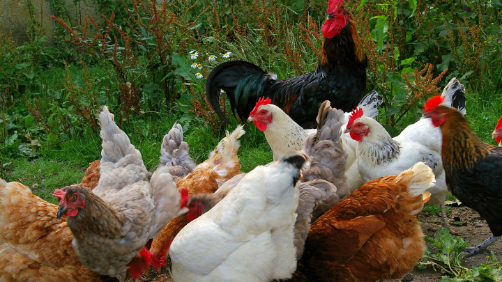 51 Chicken Industry Statistics, Trends & Analysis