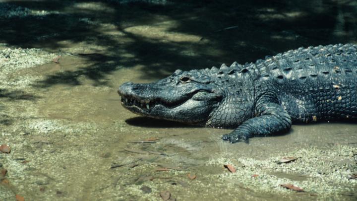 41 Real Catchy Alligator Slogans