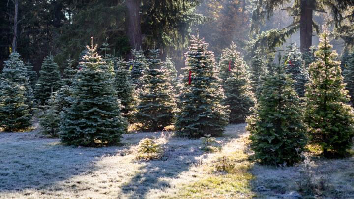 Christmas Tree Farm Pro Tips